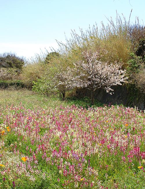 伊王島の花畑
