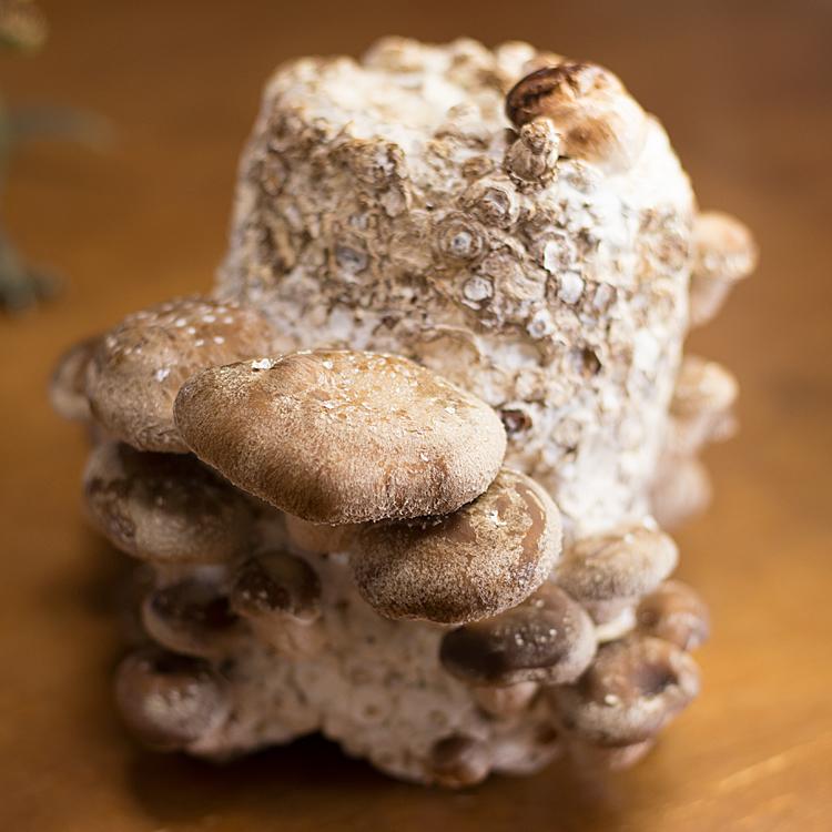 椎茸が生えた栽培ブロック